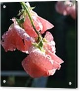 Blush Sweet Pea Acrylic Print
