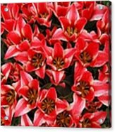 Bouquet of Red Tulips Acrylic Print