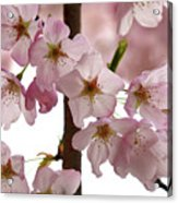 Budding Apple Blossom Power Acrylic Print