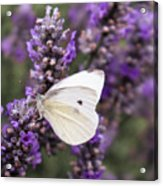 Cabbage White Butterfly on Lavender Acrylic Print