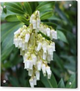 Cascading Lily of the Valley 1 Acrylic Print