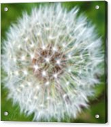 Dandelion Dreams Acrylic Print