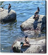 Duck couples on a date  Acrylic Print