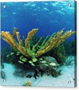 Elkhorn Coral Acrylic Print