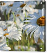 Field of Daisies 1 Acrylic Print