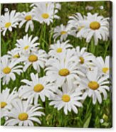 Field of Daisies 2 Acrylic Print