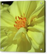 Full Dahlia Bloom Acrylic Print