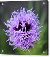 GayFeather Purple Focus Acrylic Print