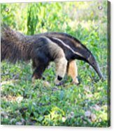 Giant Anteater Wetland Brazil Acrylic Print