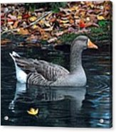 Great White-fronted Goose Acrylic Print