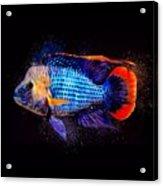 Green Terror Cichlid Fish Acrylic Print