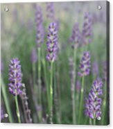 Lavender Wisdom Acrylic Print