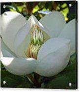 Majestic Magnolia Opening Acrylic Print