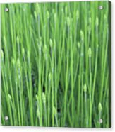 Mousetail Plant Spears  Acrylic Print