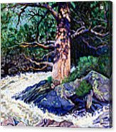 Old Pine In Rushing Stream Acrylic Print