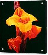 Orange Canna Acrylic Print