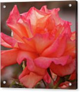 Passionate Rose Kiss Acrylic Print