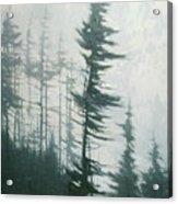 Pine Portrait Acrylic Print