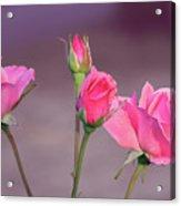 Pink Rose Bouquet Acrylic Print