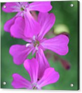 Pink Spinning Flowers Acrylic Print