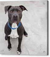 Pit bull dog sitting Acrylic Print