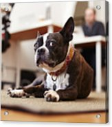 Portrait of curious dog lying on rug in an office Acrylic Print
