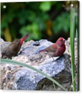 Red-billed Firefinch (Lagonosticta senegala) couple Acrylic Print