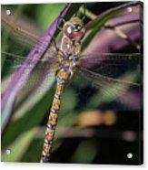 Regal Dragonfly Acrylic Print