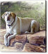 Restrained Energy- Yellow Labrador Retriever Portrait Acrylic Print