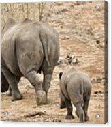 Rhino Pair Leaving Acrylic Print