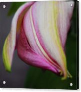 Romancing the Oriental Lilly Bud Acrylic Print