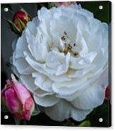 Rose with Bud Maids Acrylic Print