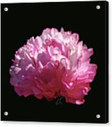 Suspended Pink Peony Bloom 1 Acrylic Print