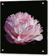 Suspended Pink Peony Bloom 2 Acrylic Print