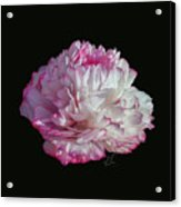 Suspended Pink Peony Bloom 3 Acrylic Print