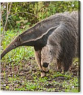 Tamanduá Bandeira - Giant Anteater Acrylic Print