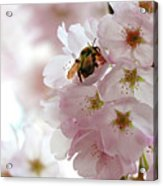 The Bee and the Apple Blossom Acrylic Print