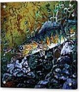 Walleye - On the Rocks Acrylic Print