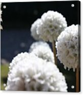 White Aliums Acrylic Print