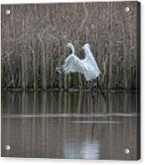 White Egret - 2 Acrylic Print