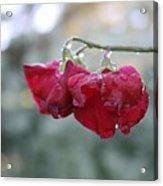 Wine Red Sweet Pea Acrylic Print