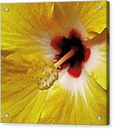 Yellow Hibiscus With Red Center Acrylic Print