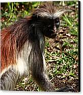Colobus Monkey Canvas Print