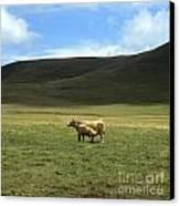 Cow And Calf. Aubrac . France. Canvas Print