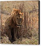Lions Of The Ngorongoro Crater Canvas Print