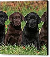8 Labrador Retriever Puppies Brown And Black Side By Side Canvas Print by Dog Photos
