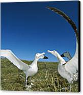 Antipodean Albatross Courtship Display Canvas Print by Tui De Roy