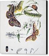 Australian Butterflies Canvas Print