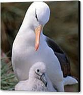 Black-browed Albatross With Chick Canvas Print