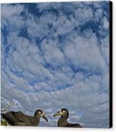 Black-footed Albatross Courtship Dance Canvas Print by Tui De Roy